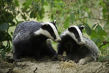 Two Badgers (Meles meles) look on in the Peak District National Park, UK.