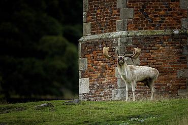 A Fallow Deer (Dama dama) bellowing on the Bradgate House estate, UK.