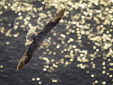 A Fulmar (Fulmarus glacialis) soars over the golden sea off the coast of Yorkshire, UK.
