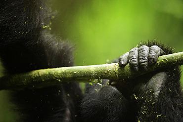 The hand of a young Mountain Gorilla (Gorilla beringei beringei) in Uganda.