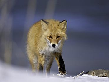 A Red Fox looks on in Hokkaido, Japan.
