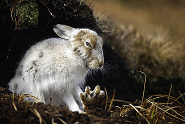 A Mountain Hare (Lepus timidus) stretches in the Peak District National Park, UK.