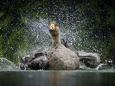 A Feral Goose preens himself in the Peak District National Park, UK.