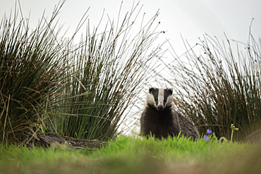 A Badger (Meles meles) emerges from her moorland sett in the Peak District National Park, UK.