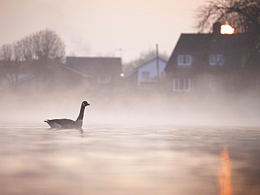 A Canada Goose (Branta canadensis) in his urban surroundings on the outskirts of the Peak District National Park, UK.