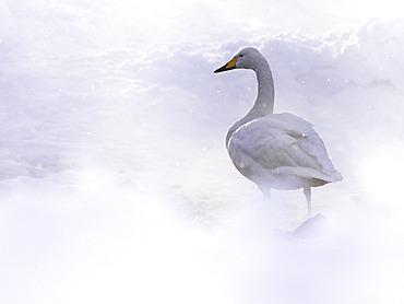 A Whooper Swan (Cygnus cygnus) in the hot springs of Hokkaido, Japan.