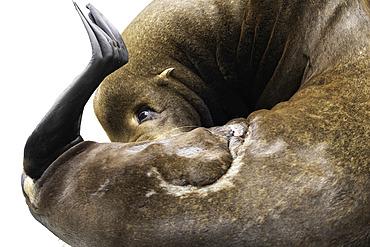 A preening Sea Lion (Zalophus californianus) off the coast of California, USA.