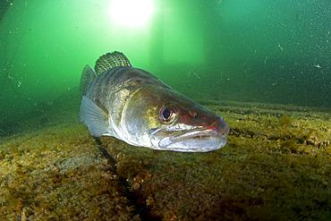 Male Zander or Pikeperch (Stizostedion lucioperca, Sander lucioperca). Lake di Lugano or Ceresio, Ticino, Switzerland