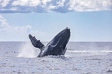 Adult, female Humpback whale (Megaptera novaeangliae) breaching, Reunion, overseas department and region of the French Republic and an Indian Ocean island in East Africa