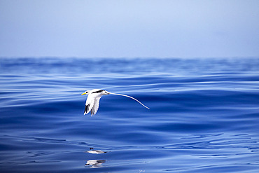 Flying White-tailed tropicbird (Phaethon lepturus) Reunion, overseas department and region of the French Republic and an Indian Ocean island in East Africa