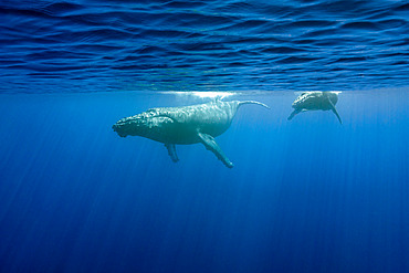 Humpback whale (Megaptera novaeangliae) mother with calf, Reunion, overseas department and region of the French Republic and an Indian Ocean island in East Africa