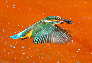 Kingfisher (Alcedo atthis) coming out of water with a fish in his bill, England
