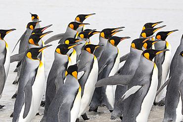 King penguins (Aptenodytes patagonicus), Volunteer Point, East Falkland, Falklands