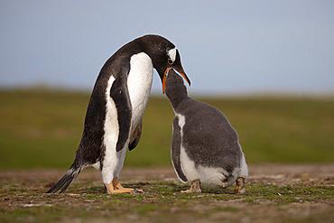 Gentoo penguin (Pygoscelis papua) feeding his chick, Volunteer Point, East Falkland, January 2018
