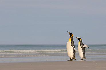 King penguins (Aptenodyptes patagonicus), at Volunteer Point, East Falkland, January 2018