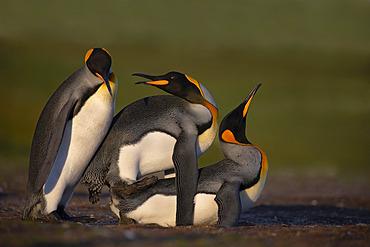 King penguin (Aptenodyptes patagonicus), Volunteer Point, East Falkland, January 2018
