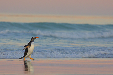 Gentoo penguin (Pygoscelis papua), Volunteer Point, East Falkland, January 2018