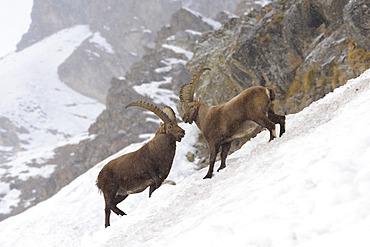 Alpine Ibex in wintertime, Capra ibex, Gran Paradiso National Park, Alps, Italy, Europe