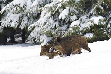 Wild boars in wintertime, Sus scrofa, Germany, Europe