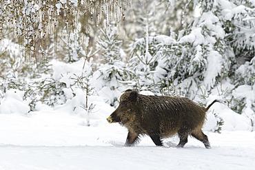 Wild boar in wintertime, Sus scrofa, Germany, Europe
