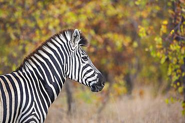 Plains zebra (Equus quagga burchellii) portrait in fall colors background in Kruger National park, South Africa