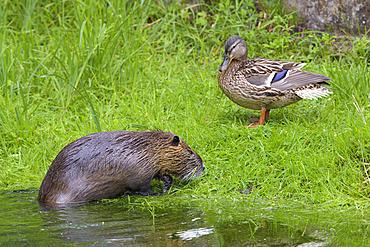 Coypu and mallard duck, Myocastor coypus, Germany, Europe