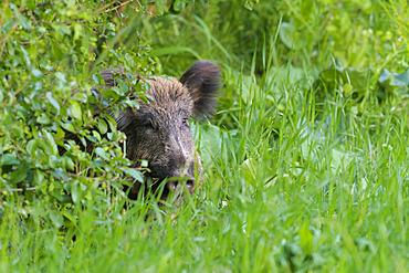 Wild boar on meadow, Sus scrofa, Hesse, Germany, Europe