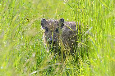 Wild boar on meadow, Sus scrofa, Young, Hesse, Germany, Europe