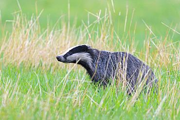 European badger on meadow, Meles meles, Hesse, Germany, Europe