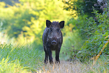Wild boar in summer, Sus scrofa, Germany, Europe
