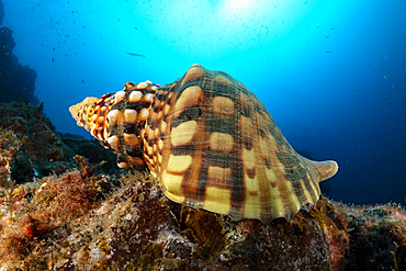 Triton´s Horn, Trumpet Shell (Charonia lampas), protected species, Santa Maria Island, Azores, Portugal, Atlantic Ocean