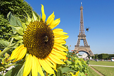 Hymenoptera pollinating insects on a garden flower in front of the Eiffel Tower in Paris, France