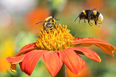 Bumblebee (Bombus terrestris) in flight over a garden flower in front of the Eiffel Tower in Paris, France