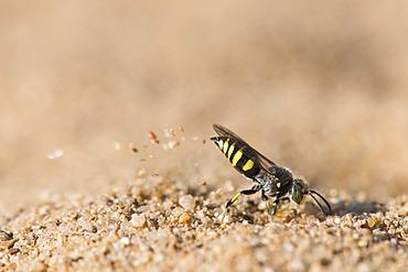 Digger wasp : Sand wasp (Bembecinus tridens) digging, La Truchere Nature Reserve, Burgundy, France