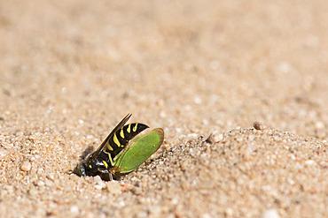 Digger wasp : Sand wasp (Bembecinus tridens) burying a leafhopper, La Truchere Nature Reserve, Burgundy, France