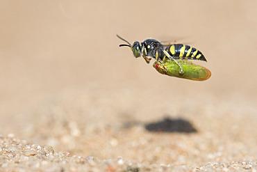 Digger wasp : Sand wasp (Bembecinus tridens) carrying a leafhopper in flight, La Truchere Nature Reserve, Burgundy, France