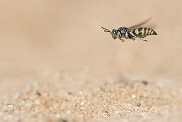 Digger wasp : Sand wasp (Bembecinus tridens) in flight, La Truchere Nature Reserve, Burgundy, France