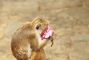 Toque macaque (Macaca sinica) feeding on a lotus flower, Sri Lanka