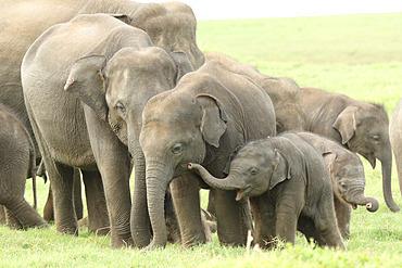 Herd of Asian elephants (Elephas maximus) with calves a few weeks old, Sri Lanka