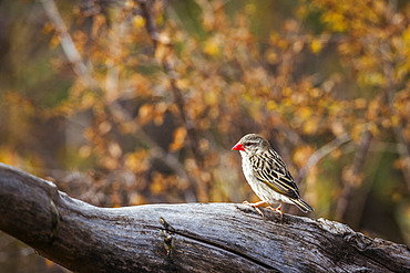 Red-billed Quelea (Quelea quelea) standing in a log with fall color background in Kruger National park, South Africa