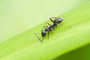 Black ant (Lasius sp) on a leaf, France