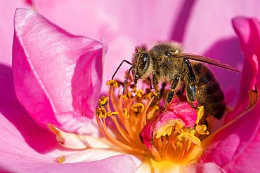 Honey bee (Apis mellifera) on rose flower, Jean-Marie Pelt Botanical Garden, Nancy, Lorraine, France