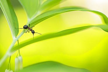 European Red Wood Ant (Formica polyctena) on a leaf, Lorraine, France
