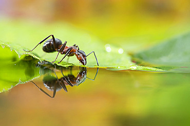 European Red Wood Ant (Formica polyctena) drinking and his reflection, Lorraine, France