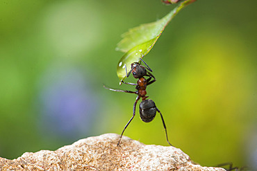 European Red Wood Ant (Formica polyctena) drinking a drop of water, Lorraine, France