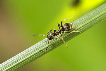 Black ant (Lasius sp) on a stem, Lorraine, France