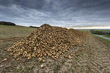Sugar beet harvest in a field in autumn, Pas-de-Calais, France