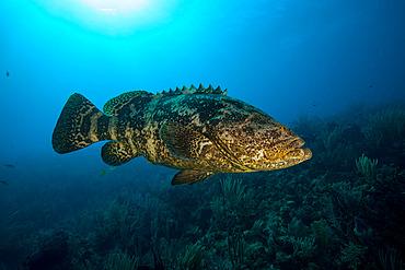 Goliath grouper (Epinephelus itajara) swimming over a coral reef, Jardines de la Reina National Park, Cuba.