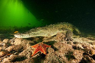 American marine crocodile (Crocodylus acutus) on the detritic bottom of a mangrove channel in the Jardines de la Reina National Park, Cuba