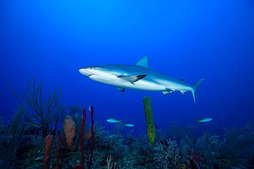 Grey reef shark (Carcharhinus amblyrhynchos) above the bottom, Jardines de la Reina National Park, Cuba